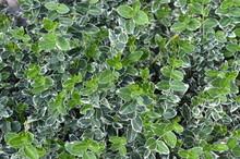 Immergrüner Strauch