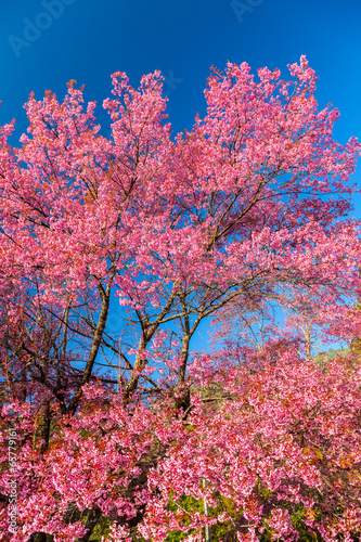 Candy pink Cherry Blossom