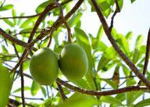 Cerbera Oddloam Gaertn Fruit On Tree
