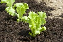 Baby Lettuce Growing In A Field