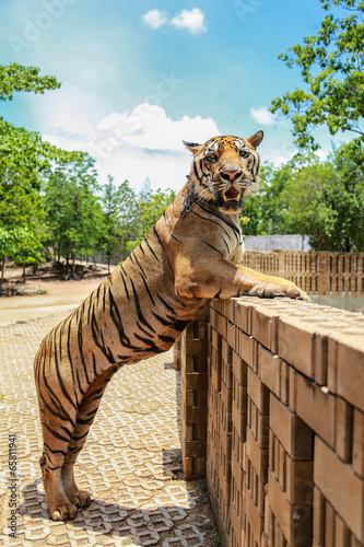 Foto  Tiger Standing
