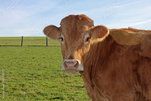 Photo sur Toile Vache Belle vache