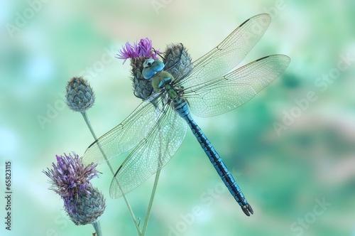 anax-imperator-male-blue-emperor