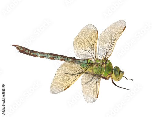 Dragonfly Anax imperator (female) Blue Emperor