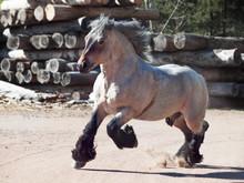 Running Brabant Stallion