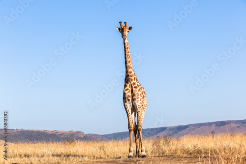Giraffe Blue Sky Portrait Wildlife