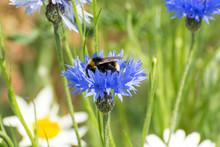 Bee On A Blue Cornflower