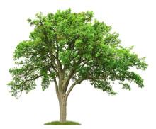 100 Jähriger Birnbaum Im Frühling Als Freisteller