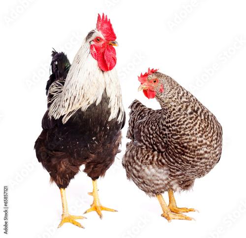 Keuken foto achterwand Kip Rooster and chicken on white background