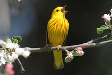 Yellow Warbler (Dendroica Petechia) Singing