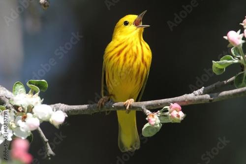 Yellow Warbler (Dendroica petechia) Singing Canvas Print