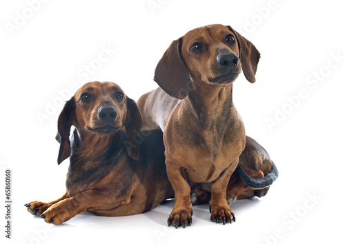 dachshund dogs - Buy this stock photo and explore similar