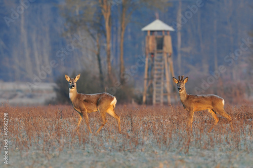 Deer in winter morning and hunting tower in background