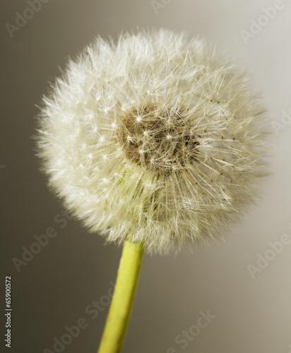 Grey dandelion.
