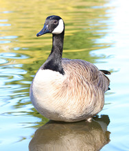 Canadian Goose Detailed Standing In Water