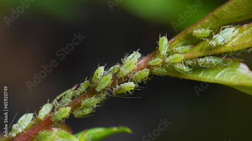 Photo aphids sucking on rose shoot