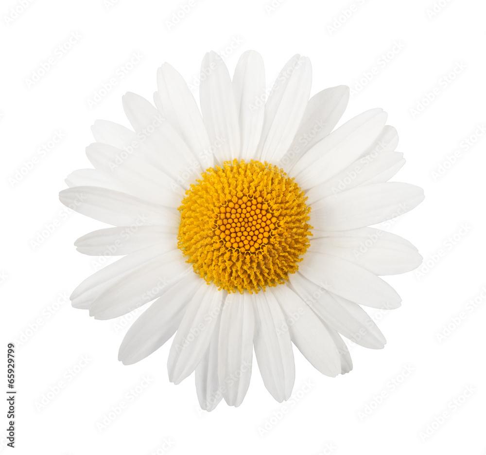 Fototapeta White daisy