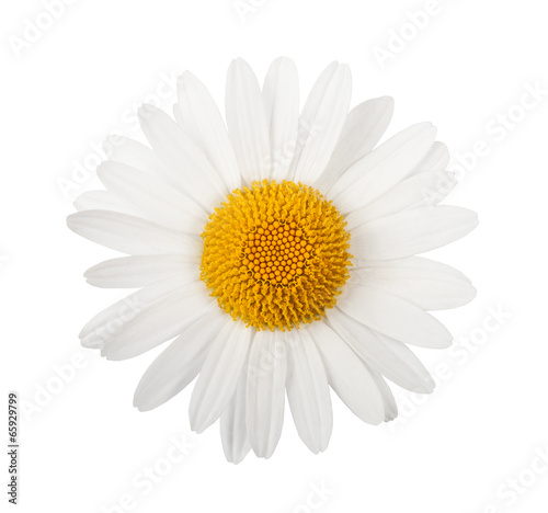 Canvas Print White daisy