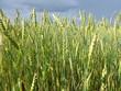 Ripening grain in the field