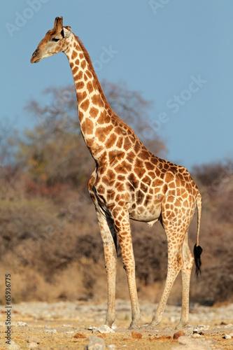 Poster Giraffe Giraffe bull, Etosha National Park