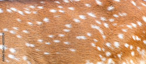 Poster Cerf axis deer skin