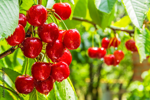 Cherry  berries on a tree branch with water drops Poster Mural XXL