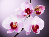 beautiful orchid on the pink background