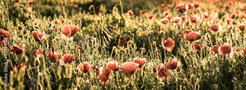 Field of red poppies in bright evening light.