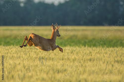 Photo sur Aluminium Roe Chevreuil qui saute dans les champs