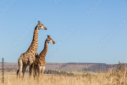 Photo  Giraffes Two Affections Together Blue Sky Wildlife