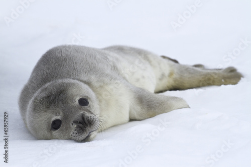 Door stickers Antarctic Weddell seal pups which lies on the ice of Antarctica