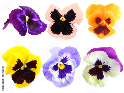 Set of motley pansy flowers