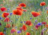Fototapeta Papavers - Polne maki pośród traw i kwiatów polnych