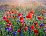 Fototapeta Flowers - Polne maki pośród traw i kwiatów polnych
