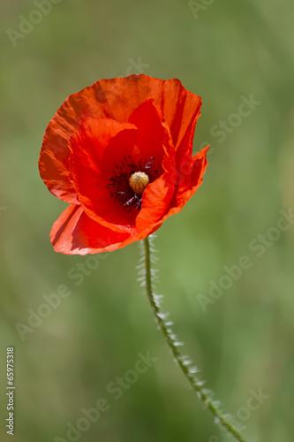 In de dag Poppy Poppy flower