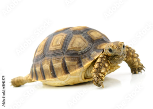 Tuinposter Schildpad turtle on white background