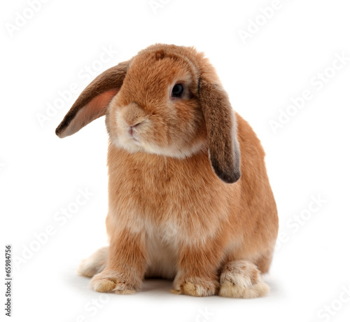Fotografering rabbit isolated on a white background