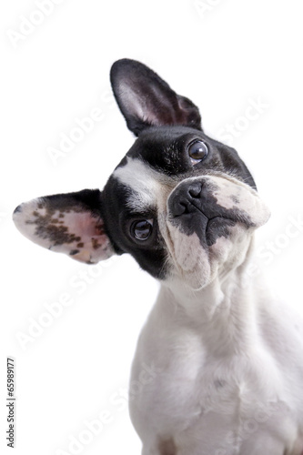 Foto op Plexiglas Franse bulldog white and black french bulldog