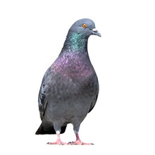 Grey Pigeon On White Background