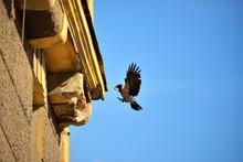 The Crow Feeds Baby Birds