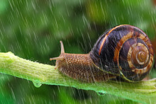 Snail Crawling On Plant With R...