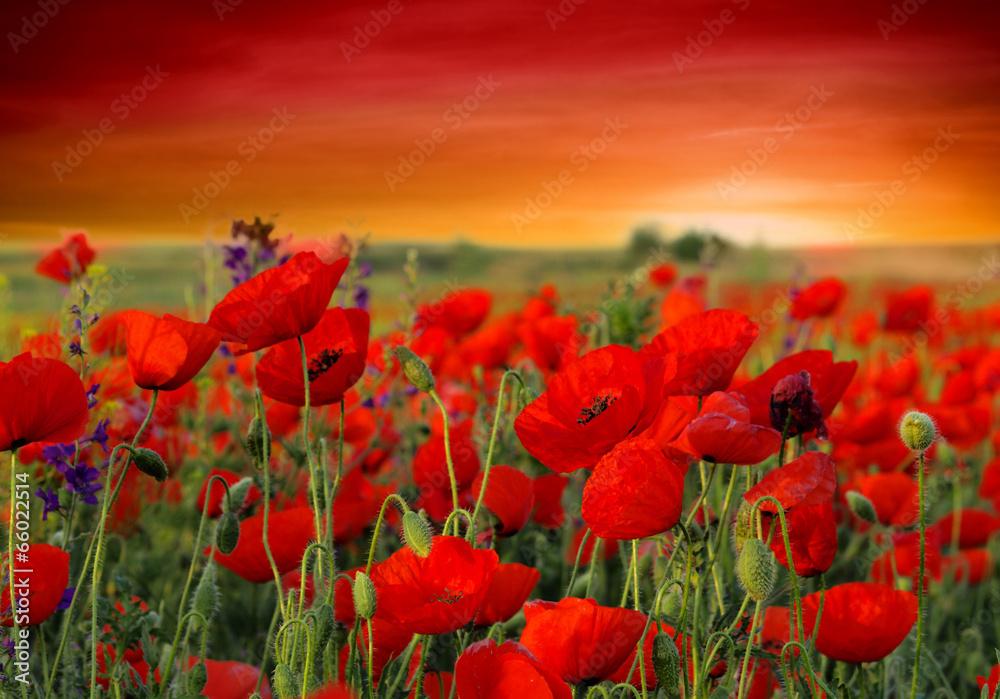 Fototapeta Field of poppies on a sunset - obraz na płótnie