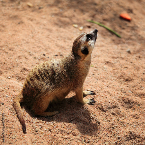 Tuinposter Eekhoorn Meerkats