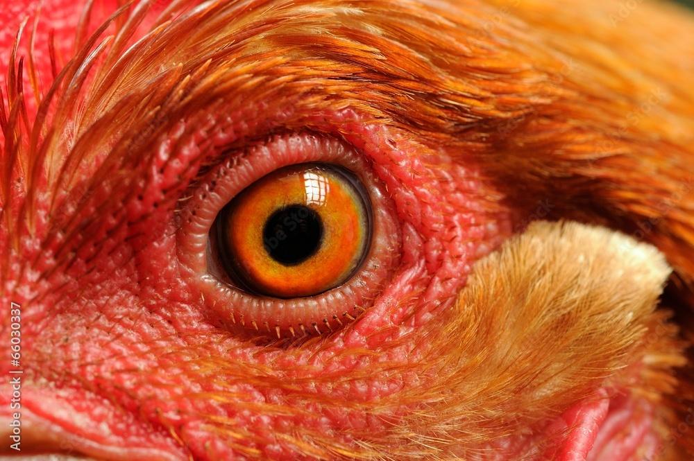 Photo  Chicken Eye Close-Up