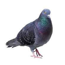 Feral Pigeon Over White Background
