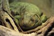 Iguana in terrarium.
