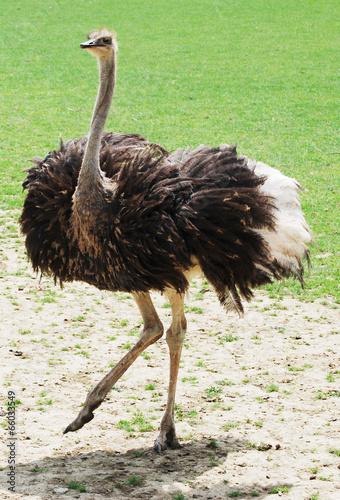 Staande foto Struisvogel Tanzender Strauß