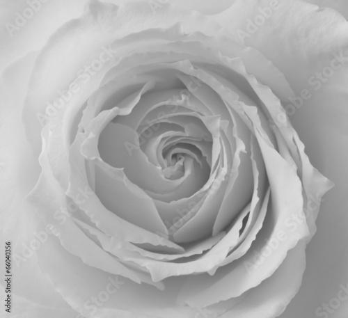 czarno-biala-roza-w-zblizeniu