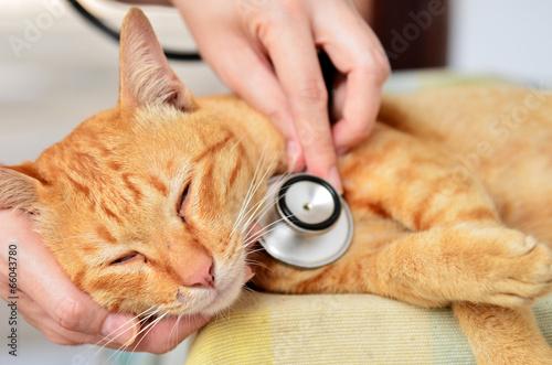 Veterinarian examining a kitten - 66043780