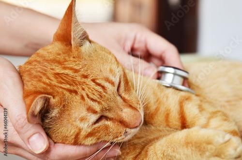 Fotografia  Veterinarian examining a kitten